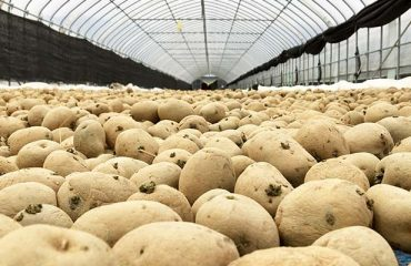 Harvest,Of,Potatoes,In,Storage,House
