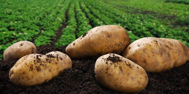 Potatoes NZ